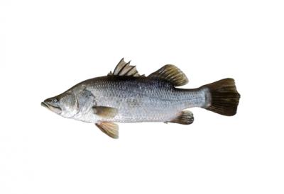 cá chẽm giống