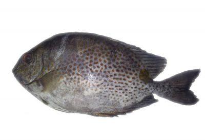 cá dìa giống